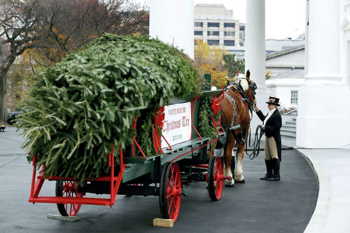 An attendant checks the horses after first lady Michelle Obama received the Official White House Christmas Tree at the White House in Washington, Friday, Nov. 25, 2016. The Balsam-Veitch fir from Dave and Mary Vander Velden, of Oconto, Wis., is 19 feet tall and 12 feet wide.