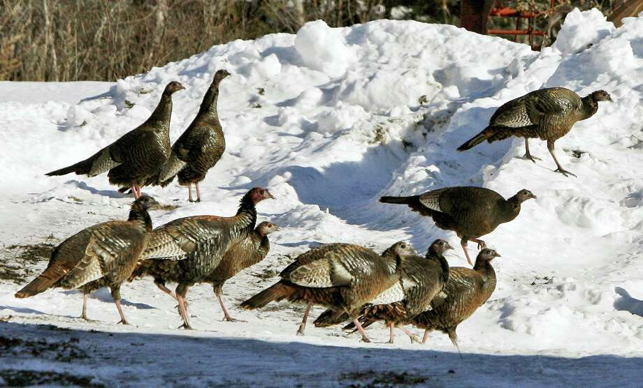 FILE - In this Feb. 9, 2009, file photo, wild turkeys walk through a snowy farm yard in Williamstown, Vt. Nearly a half century earlier, the wild birds that have come to symbolize Thanksgiving in the United States, were almost gone from the Vermont countryside. In 2016, they number in the tens of thousands...a success story of wildlife restoration. Photo: Toby Talbot — AP File Photo / Copyright 2016 The Associated Press. All rights reserved.