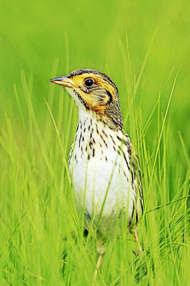 The saltmarsh sparrow is in danger of going extinct in the next 50 years, according to state biologists and wildlife conservationists. Photo: Submitted Photo ­— Paul J. Fusco   / All Rights Reserved