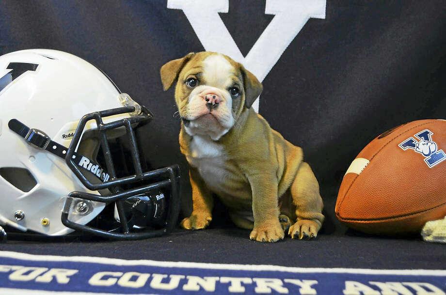 Handsome Dan XVIII Photo: CONTRIBUTED PHOTO — Yale Athletics