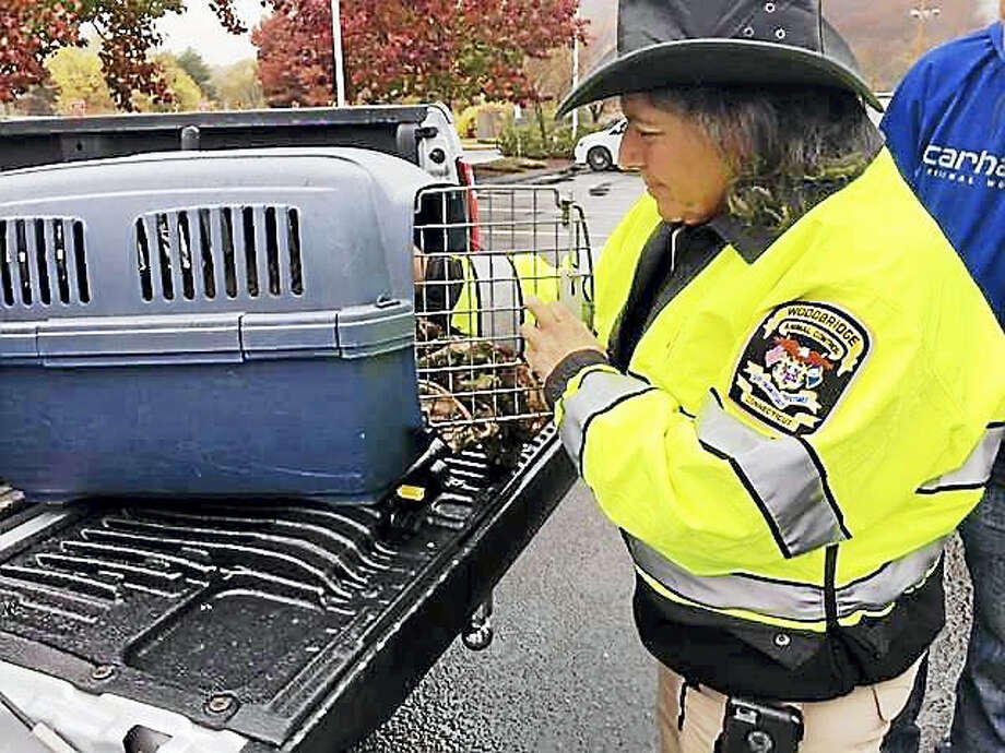 State police worked with Woodbridge Animal Control Officer Karen Lombardi to rescue an injured owl Tuesday morning from the side of Route 15 northbound. Photo: Courtesy Of The Connecticut State Police