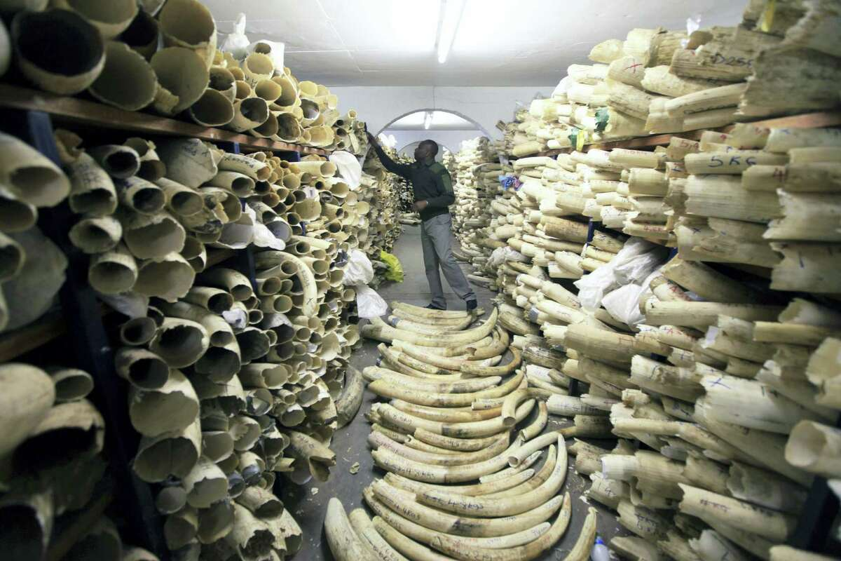 In this June 2, 2016, file photo, a Zimbabwe National Parks official inspects the stock during a tour of the country's ivory stockpile at the Zimbabwe National Parks Headquarters in Harare. The results of a new survey show a rapid decline in Africa's savanna elephants as international and domestic ivory trades continue to drive poaching across the continent.