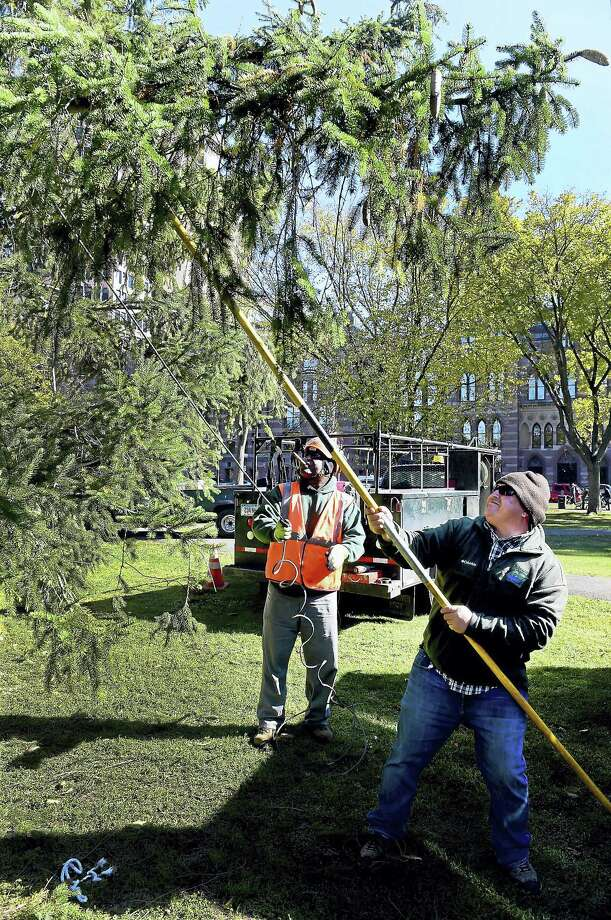 """Urban Forester and Arborist Fernando Lage, right, and Gerard Gray, both of the New Haven Department of Parks, Recreation and Trees help control a 60-foot plus Norway spruce near New Haven City Hall Monday during the """"Christmas on Halloween"""" celebration on the Lower New Haven Green as city officials, joined by sponsors and representatives of community groups welcomed  """"the just-harvested, soon-to-be-decorated huge holiday tree."""" This year's holiday tree will serve as the focal point for several programs built into Mayor Toni Harp's ongoing kindness initiative. Representatives of the Connecticut Food Bank and Toys for Tots were among the groups at the celebration. Photo: Peter Hvizdak - New Haven Register   / ©2016 Peter Hvizdak"""