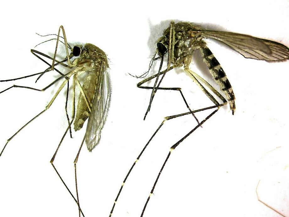 This undated photo shows a Culex pipiens mosquito, left, the primary mosquito that can transmit West Nile virus to humans, birds and other animals. Photo: AP Photo — Northwestern Mosquito Abatement District   / AP2008