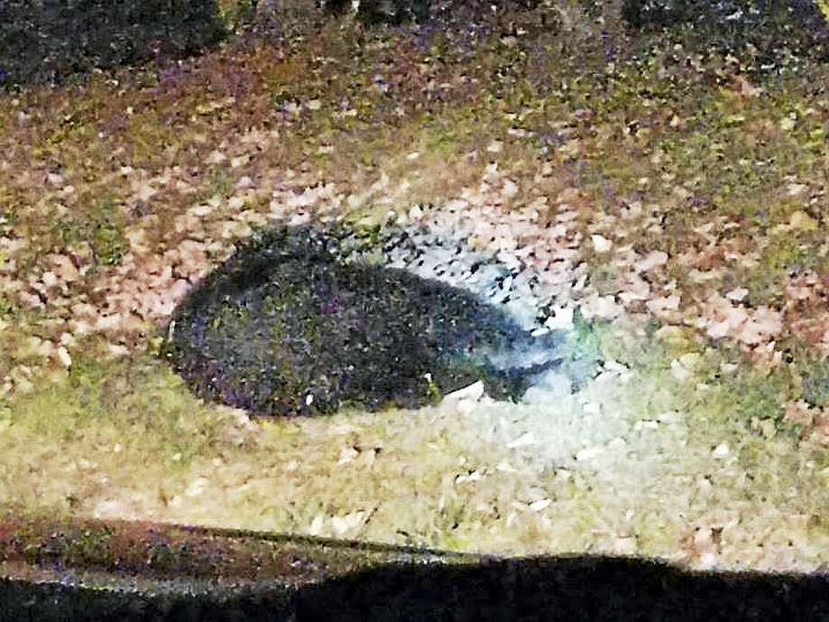 An adult bear apparently hit by a car Thursday night. Photo: Contributed Photo — Rachel Barger
