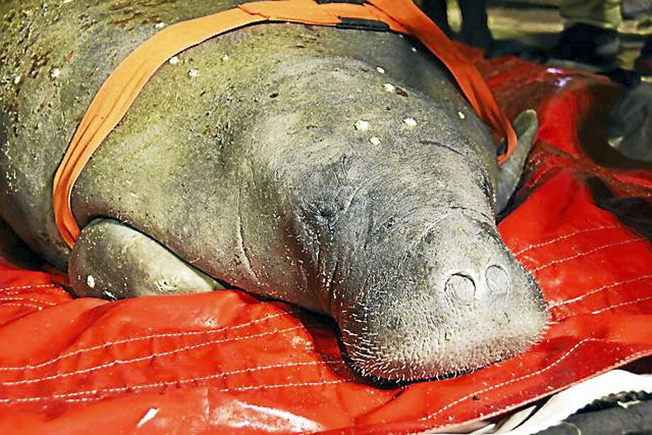 After being monitored, rescued and transported by The International Fund for Animal Welfare under a permit and with guidance from the US Fish and Wildlife Service, a female Florida manatee was admitted to The John T. and Jane A. Wiederhold Foundation Veterinary and Animal Health Center at Mystic Aquarium Thursday. Photo: Contributed / Mystic Aquarium