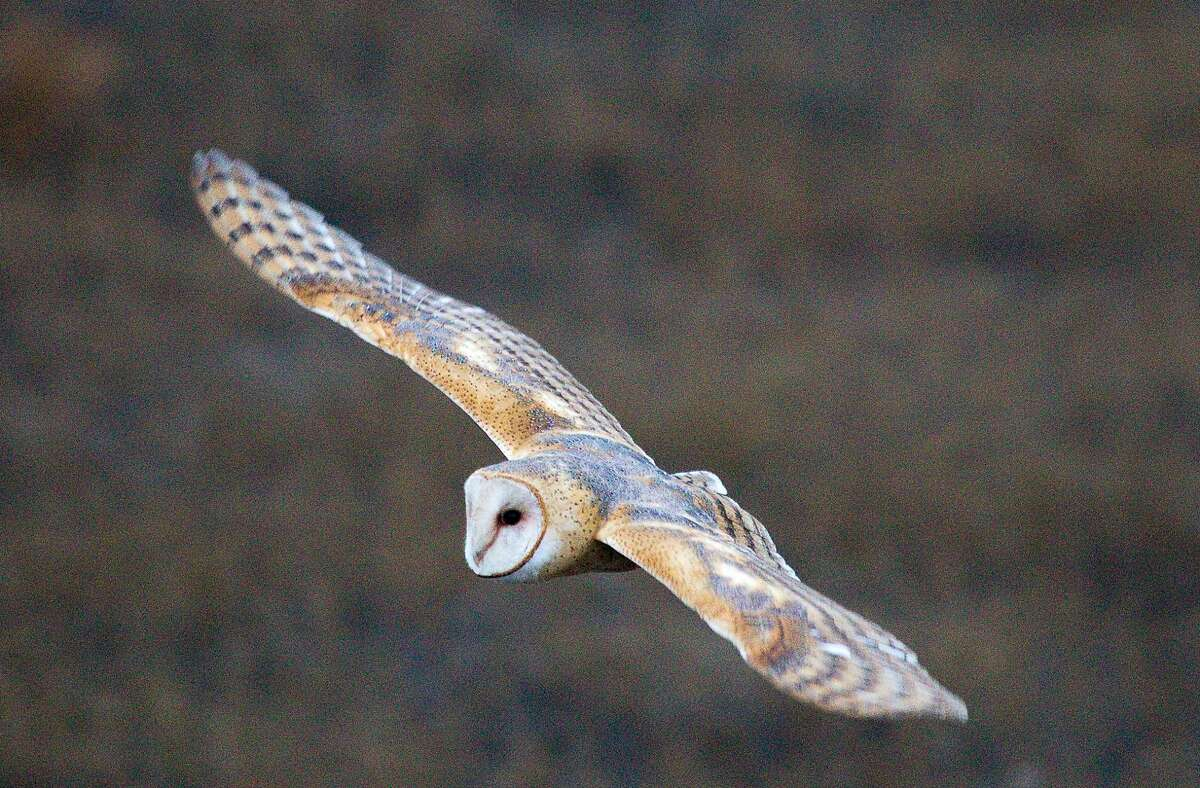 Barn owl captured in flight on San Pablo Bay Trail at Mare Island, the site of the San Francisco Bay Flyway Festival Feb. 13-15, with outings available at wetlands throughout the Bay Area