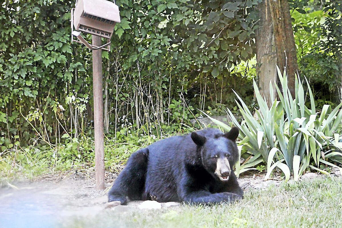 Photos by Gillian Smith Russo. She and her two children watched the black bear from inside their Guilford home. The bear was trying to get lunch from the bird feeder.