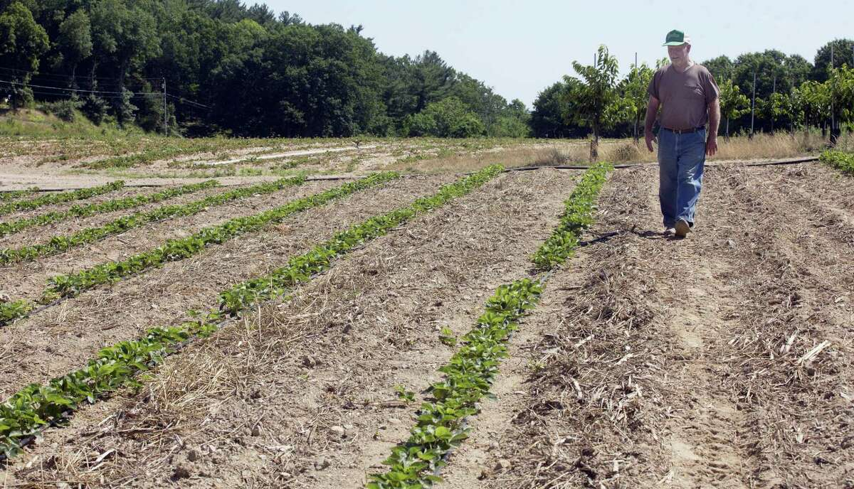 In this photo taken July 21, 2016, farmer John Lavoie walks through a drying strawberry patch in Hollis, N.H. Parts of the Northeast are in the grips of a drought that has led to water restrictions, wrought havoc on gardens and raised concerns among farmers.