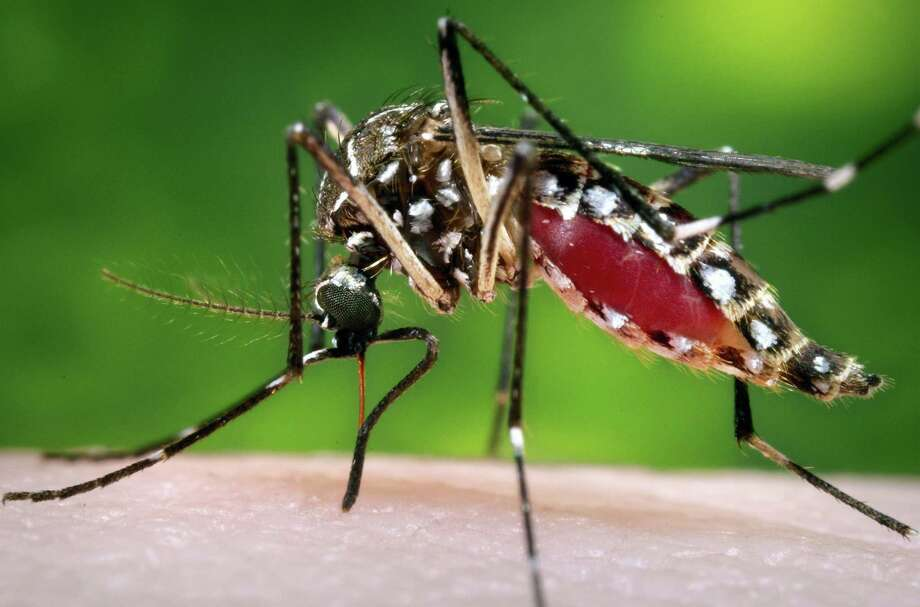 This 2006 file photo provided by the Centers for Disease Control and Prevention shows a female Aedes aegypti mosquito in the process of acquiring a blood meal from a human host. The Aedes aegypti mosquito is behind the large outbreaks of Zika virus in Latin America and the Caribbean. Photo: James Gathany/Centers For Disease Control And Prevention Via AP, File / Centers for Disease Control and Prevention