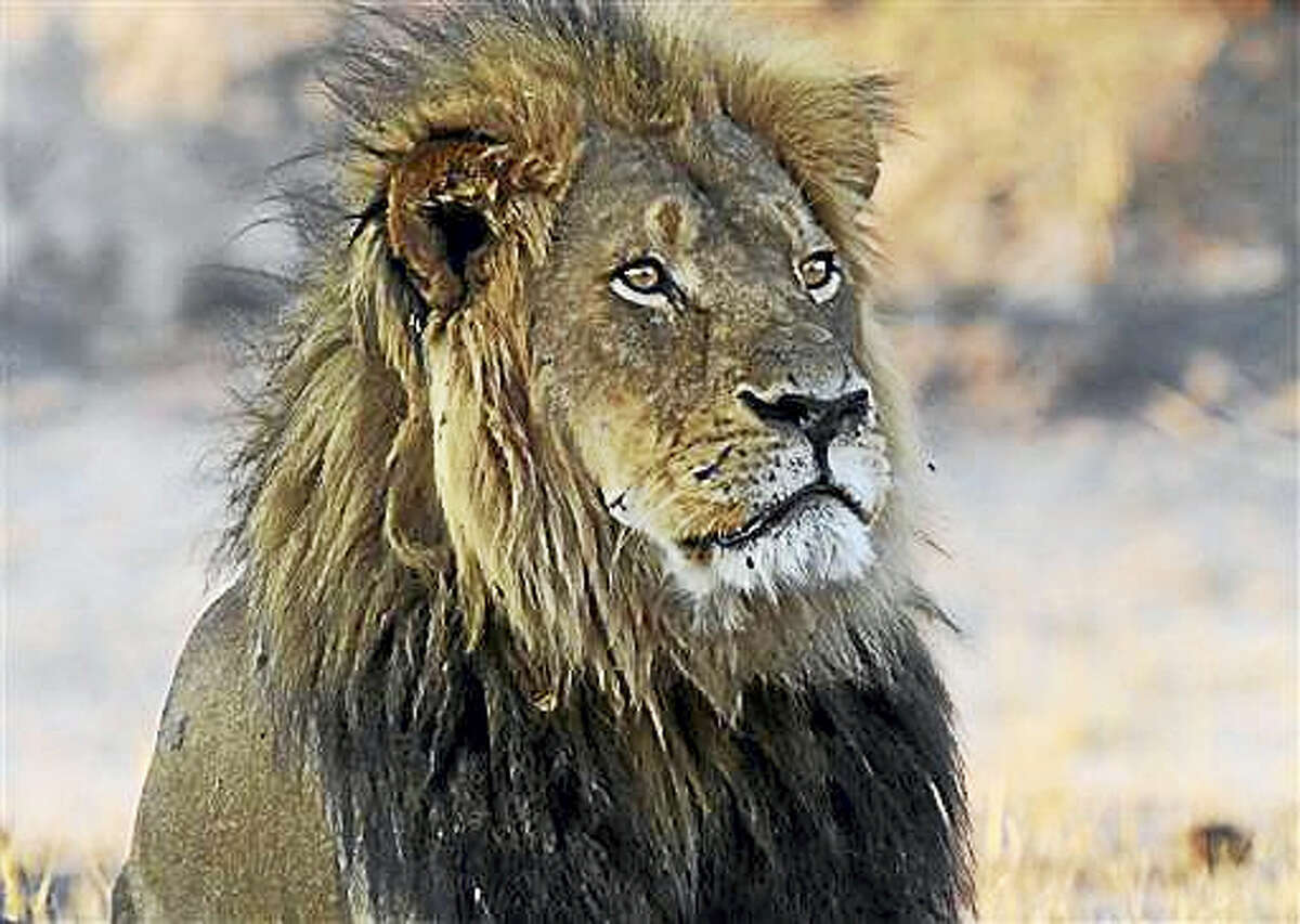 In this photo taken Nov. 20, 2013, Cecil the Lion rests near Kennedy One Water Point in Hwange National Park, Zimbabwe. A year ago an American killed the well known Lion in Hwange in what authorities said was an illegal hunt, infuriating people worldwide and invigorating an international campaign against so called trophy hunting in Africa.