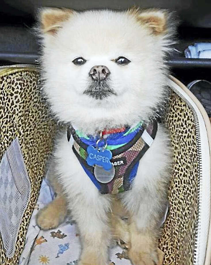 Casper, a 12-year-old Pomeranian, was reunited with his family after being stolen Tuesday night from a car parked at a Wallingford shopping center. Photo: Photo Courtesy Of The Wallingford Police Department