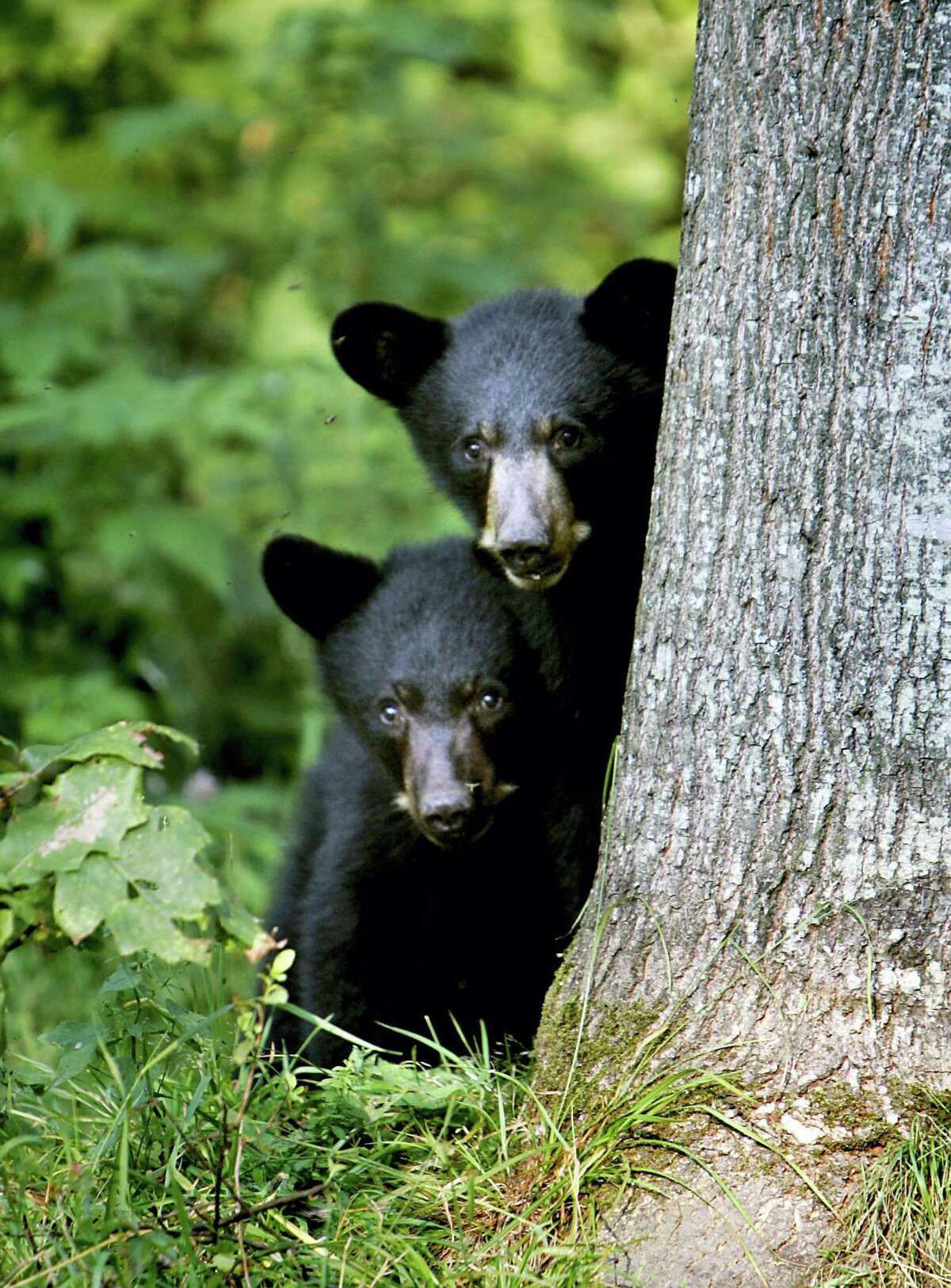 In this Wednesday Aug. 1, 2007, file photo black bear cubs are seen in Lyme, N.H. Beyond hurting crops and helping the tourism industry, New England's hot, dry summer also is affecting the region's wildlife. Bears are getting bolder, mosquitoes are multiplying and stream-dwelling fish are stressed.