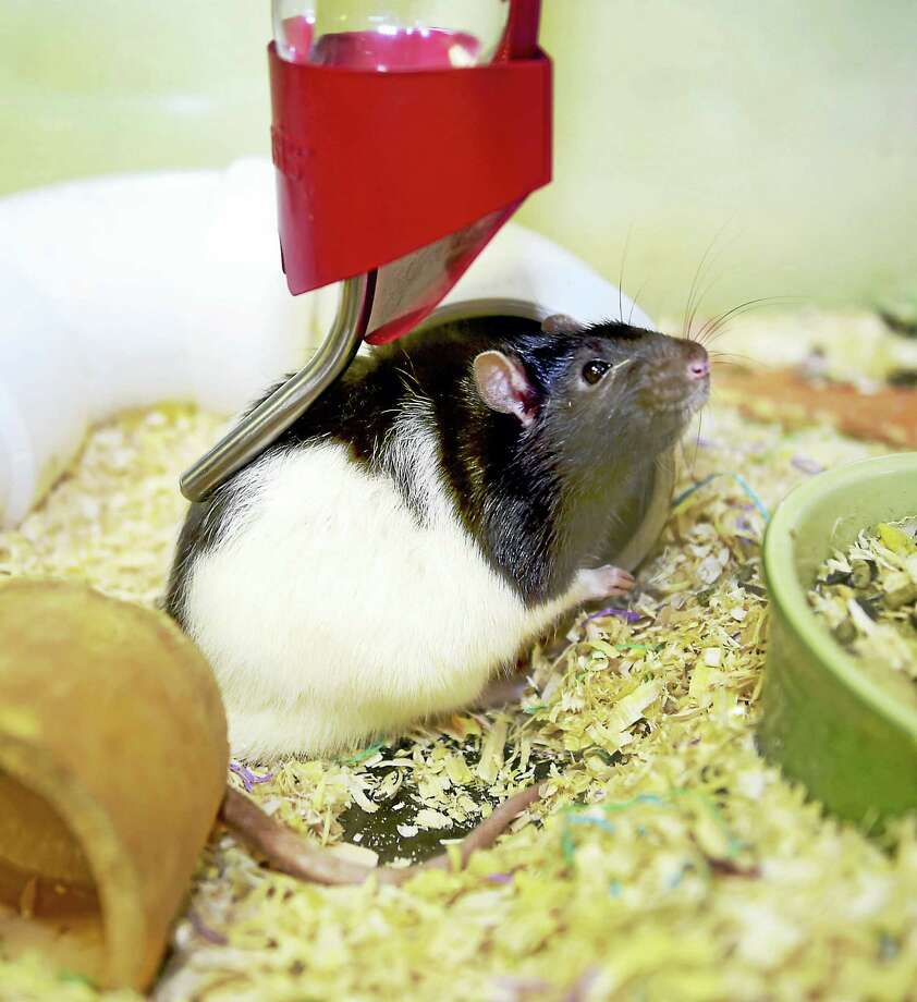 One of six male rats up for adoption at the Dan Cosgrove Animal Shelter in Branford. Photo: Peter Hvizdak — New Haven Register   / ©2016 Peter Hvizdak