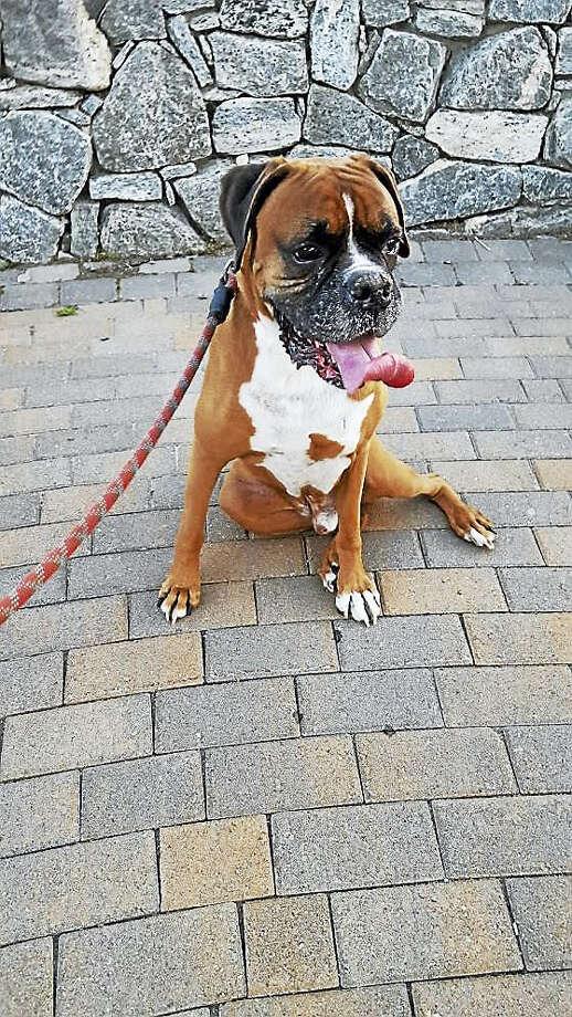 Derby Alderman Art Gerckens' pet dog, Angus. Photo: CONTRIBUTED PHOTO — Art Gerckens