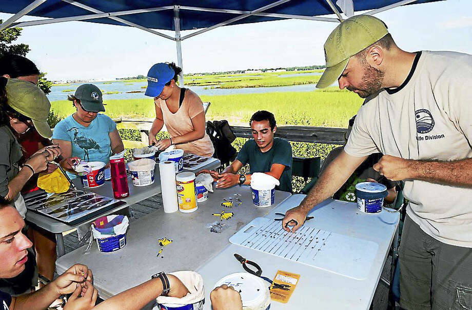 Staff at the Milford Point Coastal Center, the Connecticut DEEP and volunteers retrieved young purple martins Wednesday to measure and weigh them and place bands on the fledgling birds' legs with a federal ID and unique location markers. Photo: Peter Hvizdak — New Haven Register   / ?2016 Peter Hvizdak