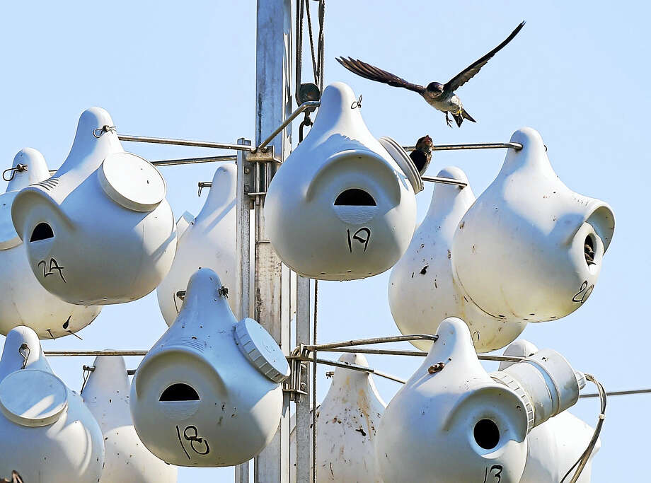 Purple martin nesting gourds at the Milford Point Coastal Center in Milford. Photo: Peter Hvizdak — New Haven Register   / ?2016 Peter Hvizdak