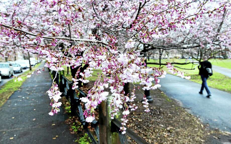 A man walks past a blooming cherry tree into Wooster Square in April 2015. Photo: Arnold Gold — New Haven Register File Photo