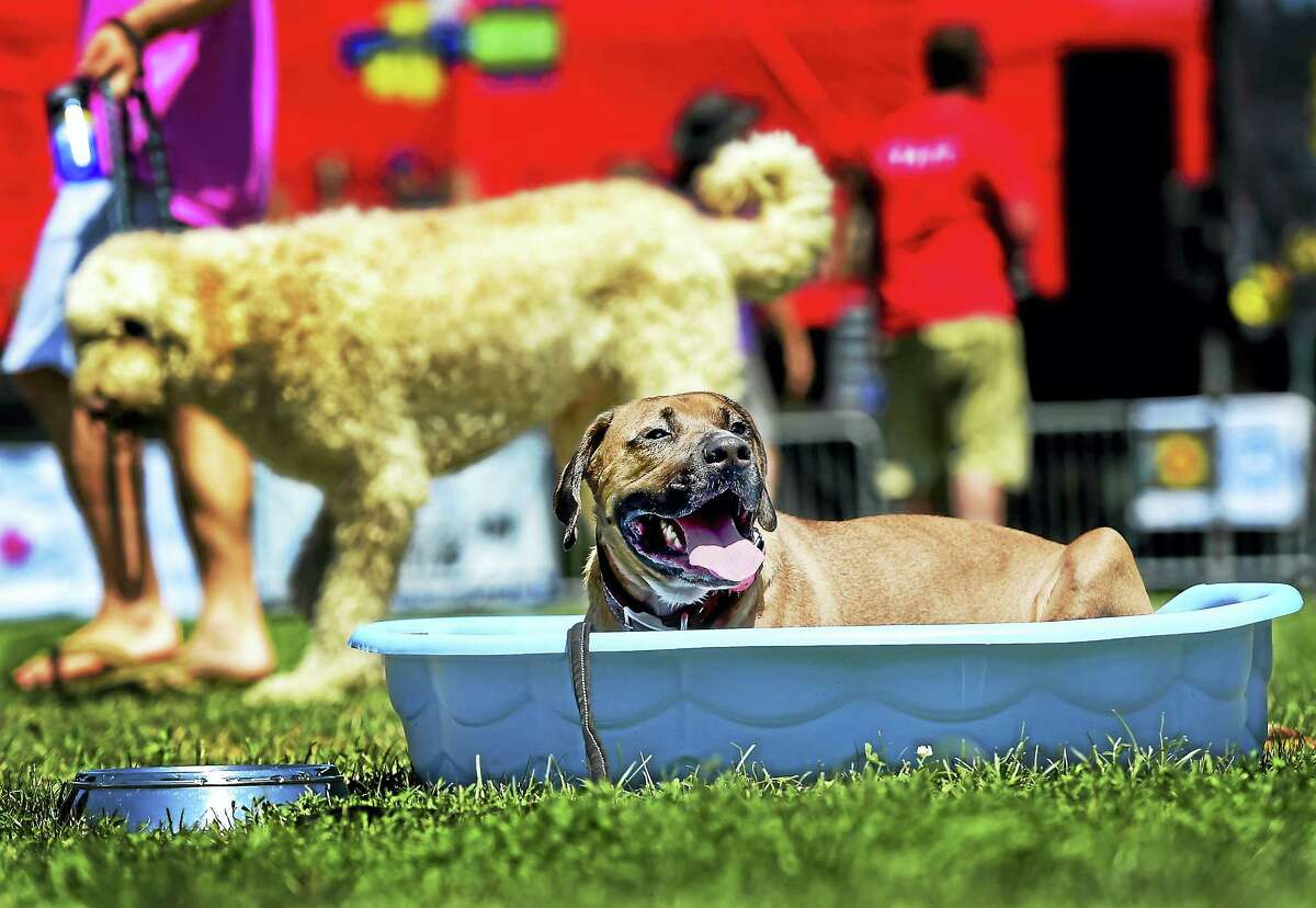 Diesel, of Norwich, a boxer bloodhound mix, fights the 90-plus-degree heat by cooling off in wading-pool water during the Woofstock music festival Saturday afternoon, August 13, 2016, an annual all day fundraiser benefiting the Dan Cosgrove Animal Shelter in Branford. Proceeds of the event will be used to help rescue, rehab and find homes for pets in need of adoption.