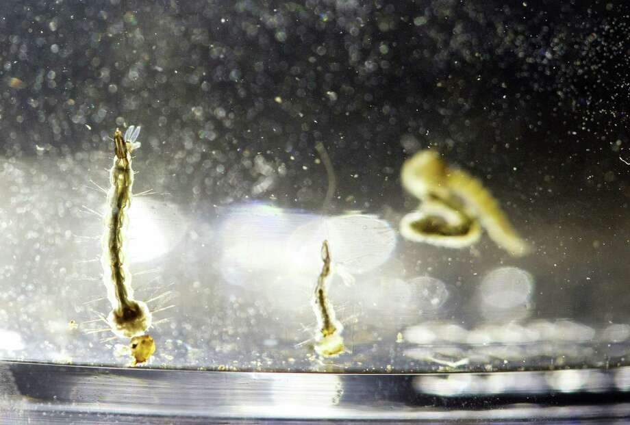 In a Wednesday file photo, Aedes Aegypti mosquito larvae swim in a container displayed at the Florida Mosquito Control District Office, in Marathon, Fla. Florida health officials have identified another Miami neighborhood where mosquitoes have spread the Zika virus to people. Florida Gov. Rick Scott's office announced Thursday that five people have been infected with Zika in a 1-square-mile area of the city just north of the Little Haiti neighborhood. Photo: Wilfredo Lee — The Associated Press File   / Copyright 2016 The Associated Press. All rights reserved.
