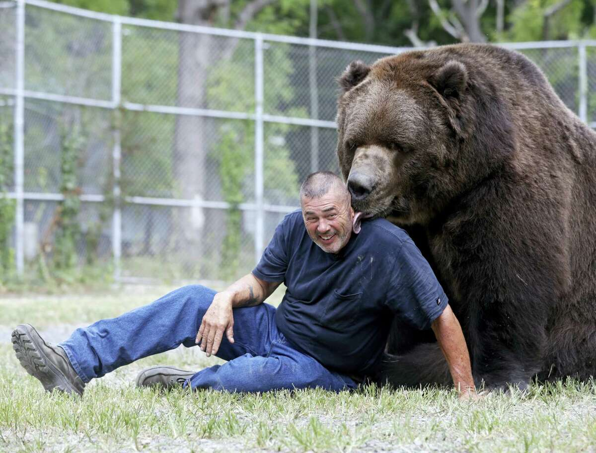 In this Wednesday photo, Jim Kowalczik plays with Jimbo, a 1500-pound Kodiak bear, at the Orphaned Wildlife Center in Otisville, N.Y.