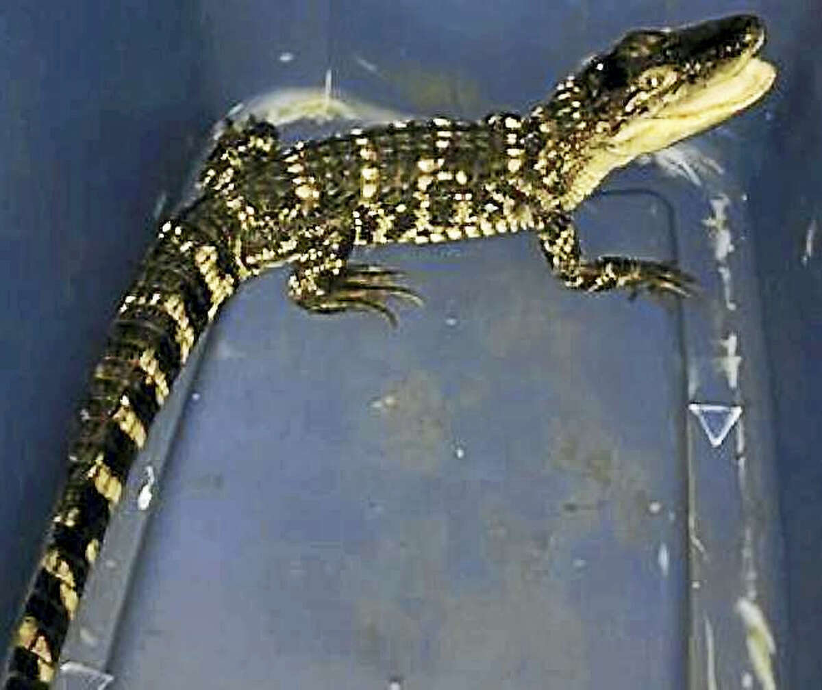Connecticut EnCon police say this 2-foot American alligator was seized from an apartment in a home in New Hartford. They also allegedly found marijuana and drug paraphernalia there.