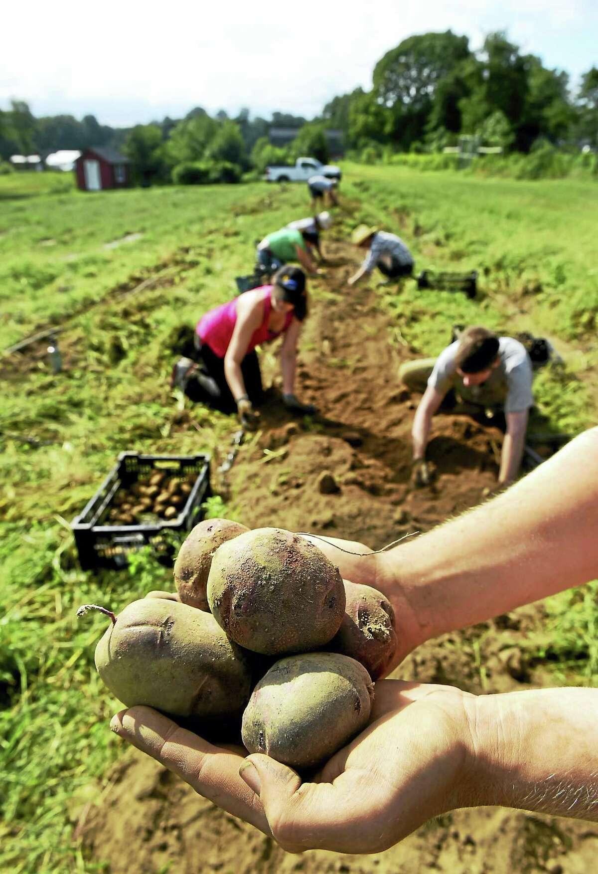 (Peter Hvizdak - New Haven Register)Fulltime seasonal employees at the Massaro Community Farm in Woodbridge harvest potatoes including the Purple Viking potato, in photo. Wednesday September 7, 2016.