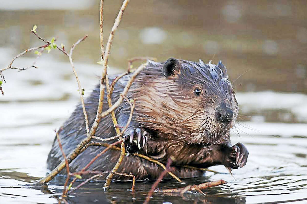 The state Department of Energy and Environmental Protection says a man and a woman from Danielson were bitten by an animal that appeared to be a beaver while swimming in the Quinebaug River.