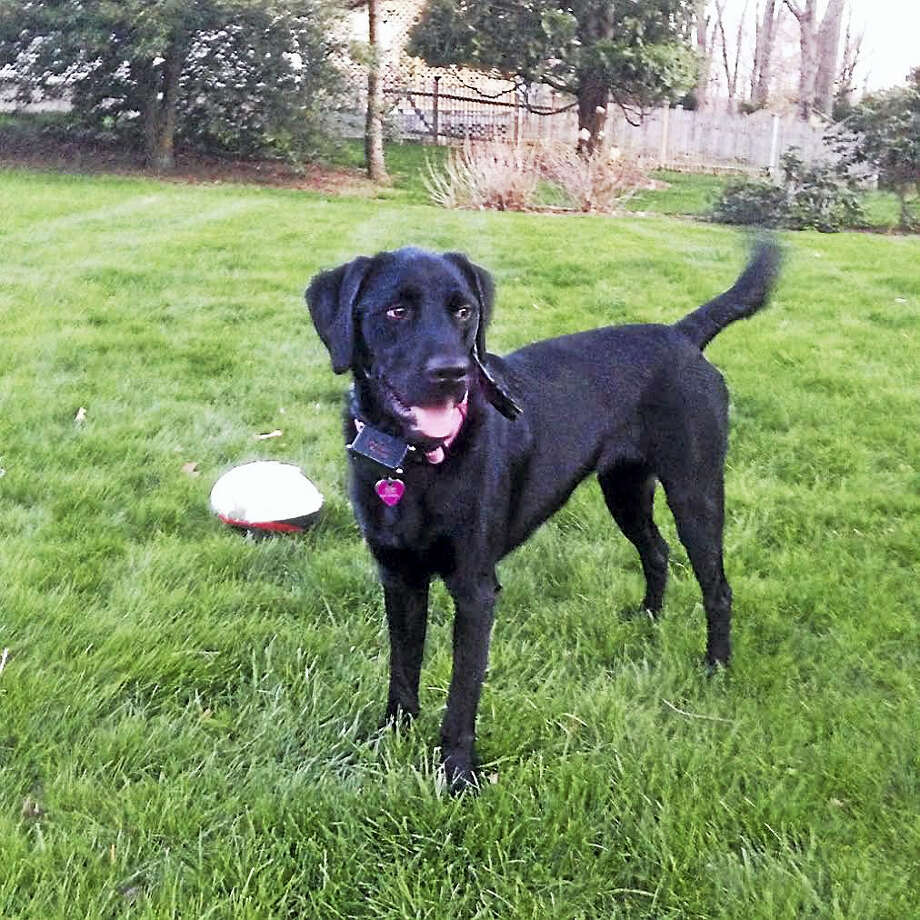 Missy, a 2-year-old black lab; has been missing in the area of West Ridge State Park since August.  Contributed Photo: Journal Register Co.