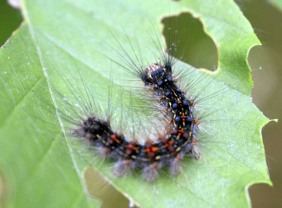 In this June 1 photo, a gypsy moth caterpillar crawls on a leaf in Plainfield, Connecticut. Photo: Aaron Flaum — NorwichBulletin.com Via AP   / Aaron Flaum/ NorwichBulletin.com