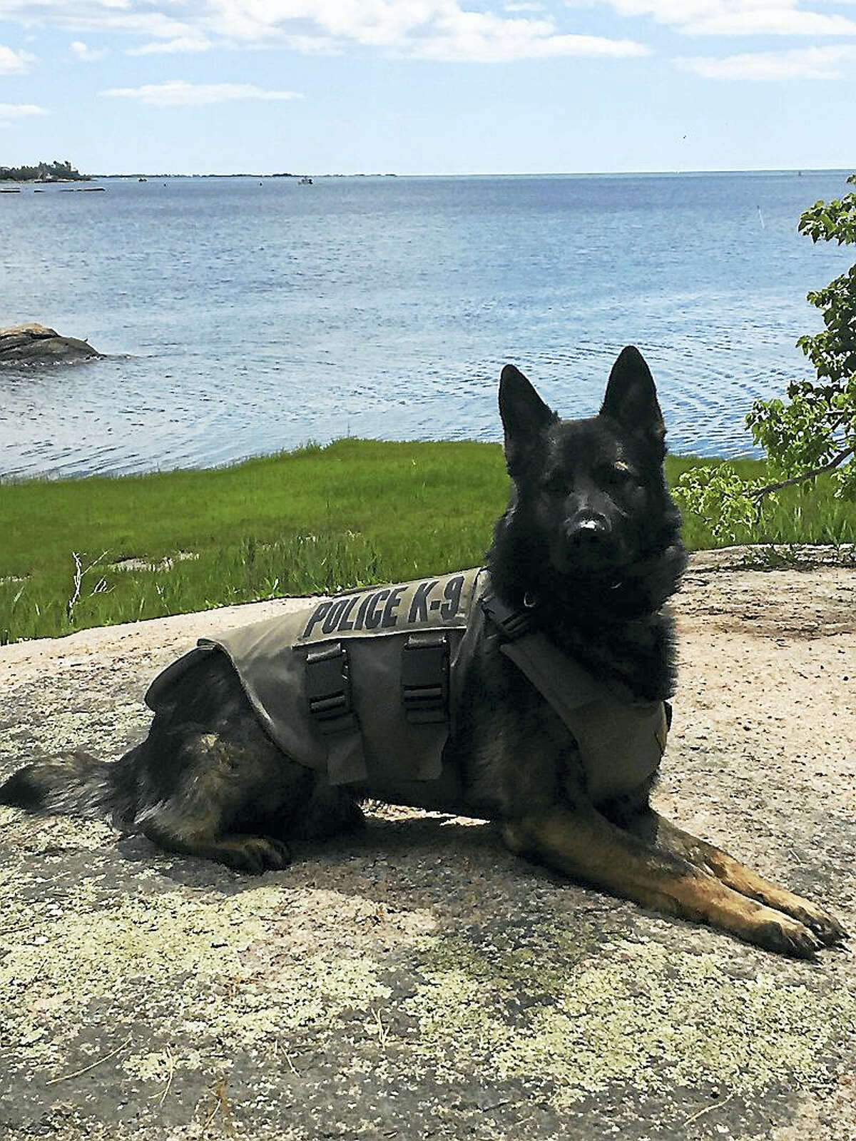 West Haven K9 Cody has received the gift of a protective vest from a Massachusetts-based charity organization. Contributed photo