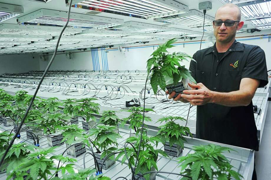 In a photo, Jonathan Hunt, vice president of Monarch America Inc., shows a marijuana plant while giving a tour of the Flandreau Santee Sioux Tribe's marijuana growing facility, in Flandreau, S.D. Photo: Joe Ahlquist — Argus Leader Via AP   / Argus Leader