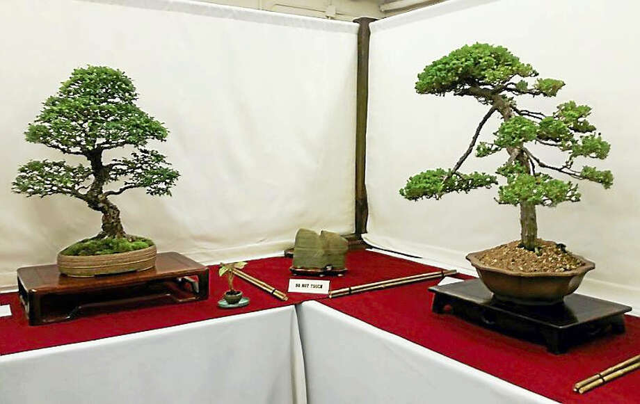 The Bonsai Society of Greater New Haven meets the second Tuesday of each month at the Carriage House in New Haven's Edgerton Park. Above are some of the trees featured at their annual exhibition in June. Photo: Jason C. Diaz/The New Haven Register