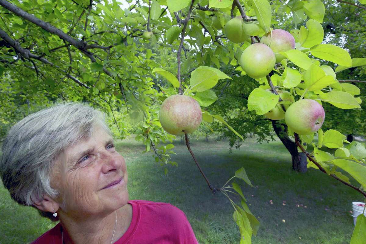In this photo taken Wednesday Aug. 31, 2016, Laurie Loosigian of Apple Annie's Orchard looks at the few apples she has, in Brentwood, N.H. For apples in New England, this year's batch is a bit smaller for many farmers as they struggle with a drought affecting most crops.