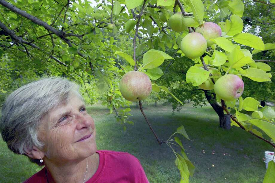 In this photo taken Wednesday Aug. 31, 2016, Laurie Loosigian of Apple Annie's Orchard looks at the few apples she has, in Brentwood, N.H. For apples in New England, this year's batch is a bit smaller for many farmers as they struggle with a drought affecting most crops. Photo: AP Photo — Jim Cole / Copyright 2016 The Associated Press. All rights reserved.