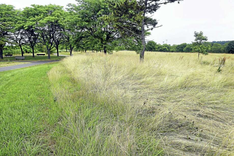 A field of hay grass at East Shore Park in New Haven. Photo: Arnold Gold — New Haven Register