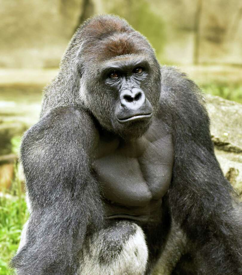 A June 20, 2015, photo provided by the Cincinnati Zoo and Botanical Garden shows Harambe, a western lowland gorilla, who was fatally shot Saturday, May 28, 2016, to protect a 4-year-old boy who had entered its exhibit. Photo: Jeff McCurry/Cincinnati Zoo And Botanical Garden Via The Cincinatti Enquirer Via AP    / Cincinnati Zoo and Botanical Garden
