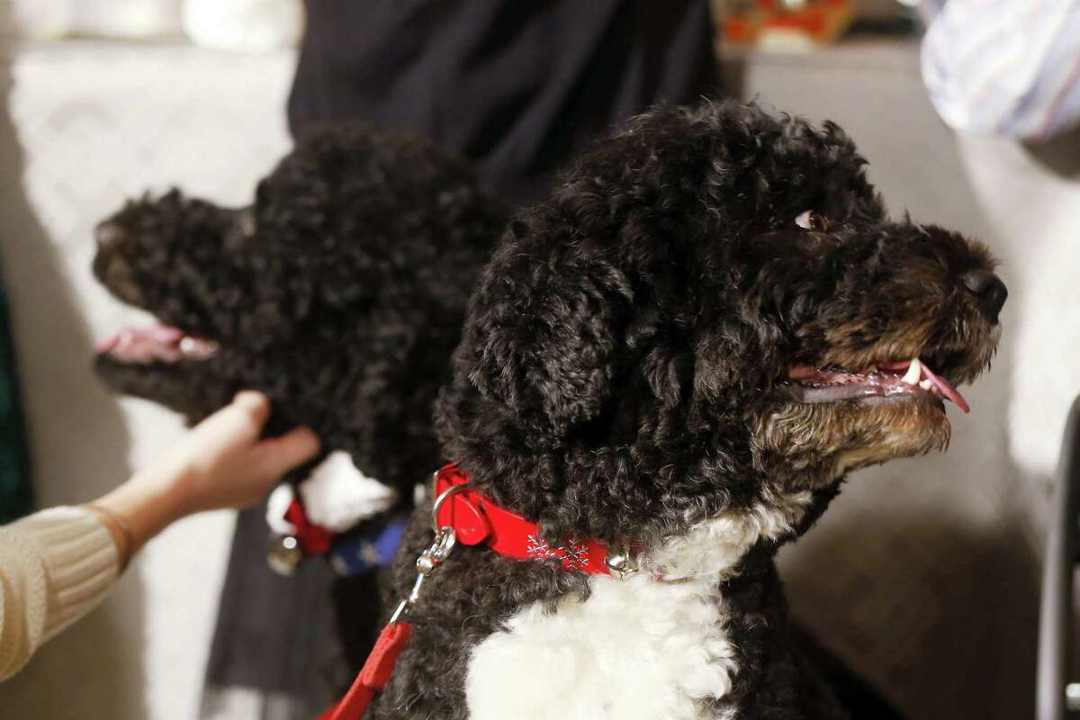 In this Dec. 4, 2013 photo, Bo, right, and Sunny, the Obama family dogs, watch as children join first lady Michelle Obama in the State Dining Room at the White House in Washington. The Portuguese water dogs are popular canine ambassadors for the White House.