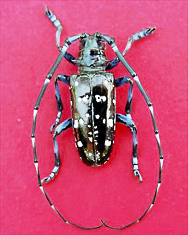 The Asian longhorned beetle is dangerous to Connecticut hardwood trees. Campers are reminded not to bring firewood from other states to be burned in Connecticut. Photo: Contributed Photo — CT DEEP