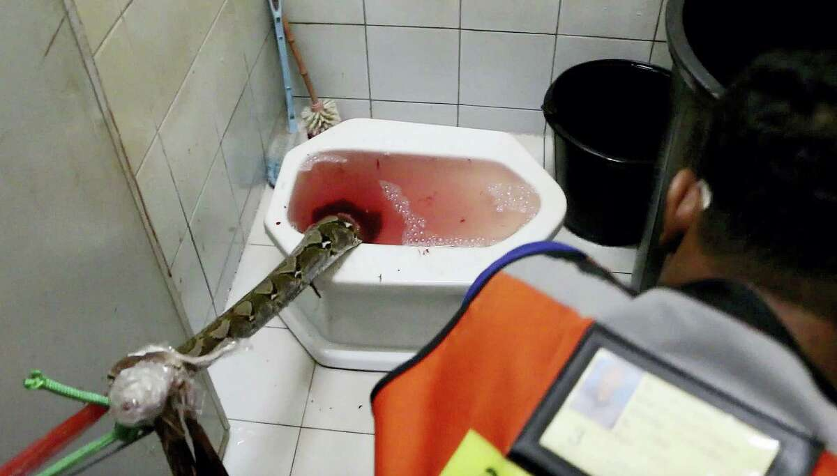 In this image made from video, rescue workers attempt to remove a python from a toilet in a home in Chachoengsao, 90km east of the capital Bangkok, Wednesday, May 25, 2016. A Thai man is recovering from a bloody encounter with a 3-meter (10-foot) python that slithered through the plumbing of his home and latched its jaws onto his penis as he was using a squat toilet.