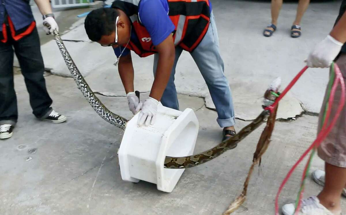 In this image made from video, rescue workers remove a python from a toilet outside a home in Chachoengsao, 90km east of the capital Bangkok, Wednesday, May 25, 2016. A Thai man is recovering from a bloody encounter with a 3-meter (10-foot) python that slithered through the plumbing of his home and latched its jaws onto his penis as he was using a squat toilet.