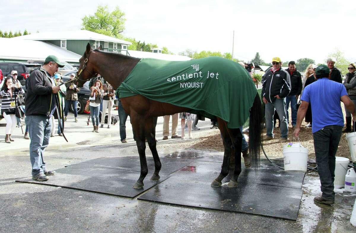 "Fernel ""Lefty"" Serrano holds Kentucky Derby winner Nyquist during his morning bath last week."
