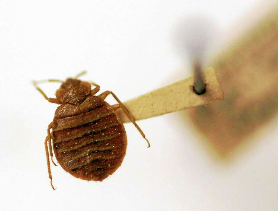 A bed bug is displayed at the Smithsonian Institution National Museum of Natural History in Washington. Photo: AP Photo/Carolyn Kaster, File   / AP2011