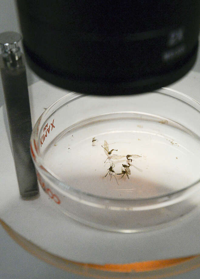 An examination dish containing dead mosquitoes sits under a microscope on Tuesday, May 17, 2016, in Brownsville, Texas. The exhibit was part of a display of tools public health offficials use to capture and combat mosquitos. A panel of local experts and officials discussed the threat Zika brings and ways to minimize its spread in the Rio Grande Valley, a major thoroughfare of international trade and travel. Photo: Jason Hoekema/The Brownsville Herald Via AP    / The Brownsville Herald