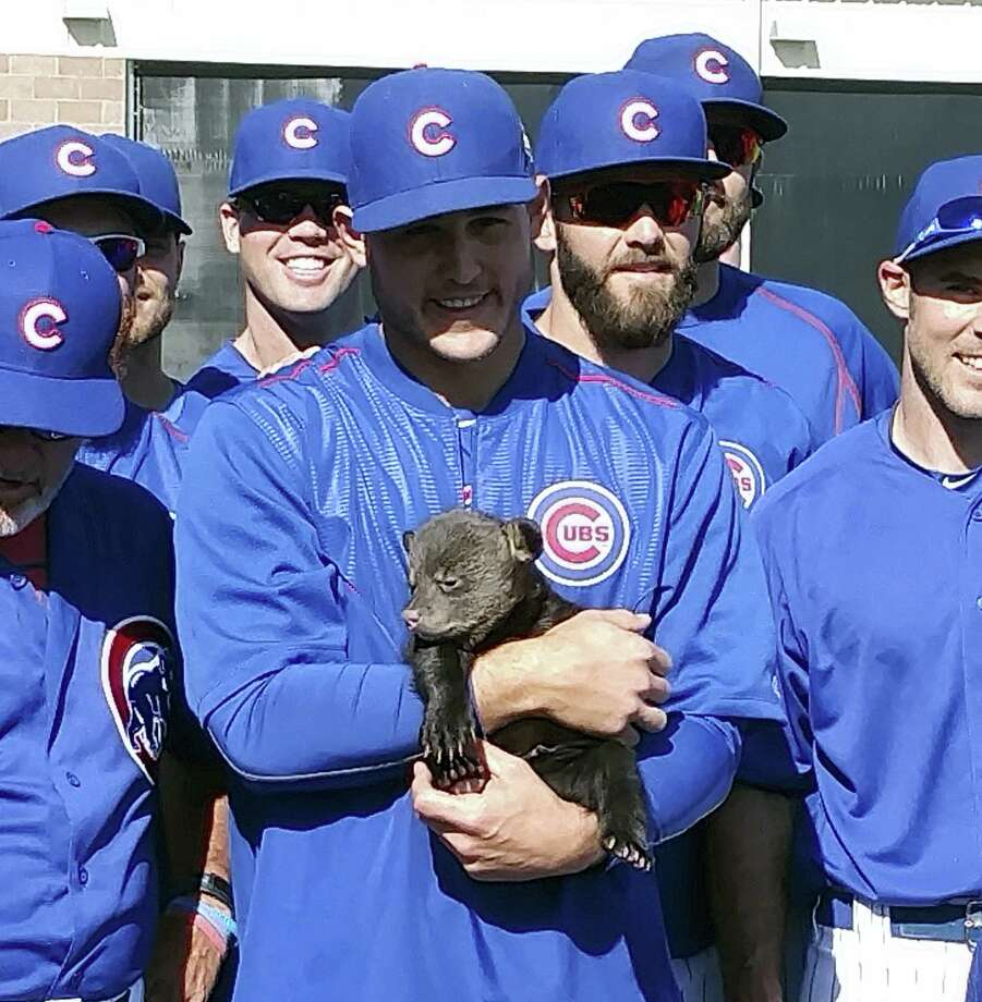 The Cubs' Anthony Rizzo holds one of two bear cubs Friday in Mesa, Ariz. The 10- to 12-week old cubs were brought in from Bearizona, a wildlife park, the latest tactic by manager Joe Maddon to keep spring training light before the workday begins. Photo: Jason P. Skoda Via AP   / Jason P. Skoda