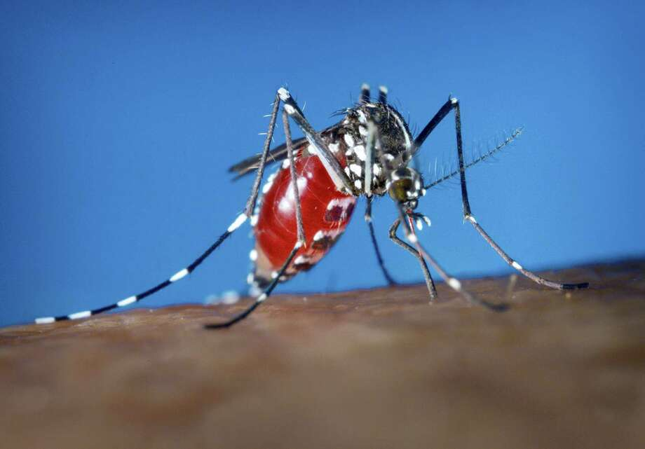This 2003 photo provided by the Centers for Disease Control and Prevention shows an Aedes albopictus female mosquito feeding on a human blood meal. Photo: James Gathany — Centers For Disease Control And Prevention Via AP / Centers for Disease Control and Prevention