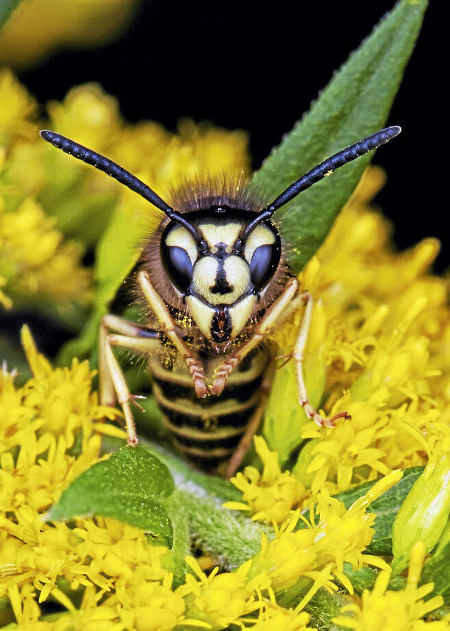 "Nature and wildlife photographer Brian Lee's ""Wasp."" Photo: Contributed"