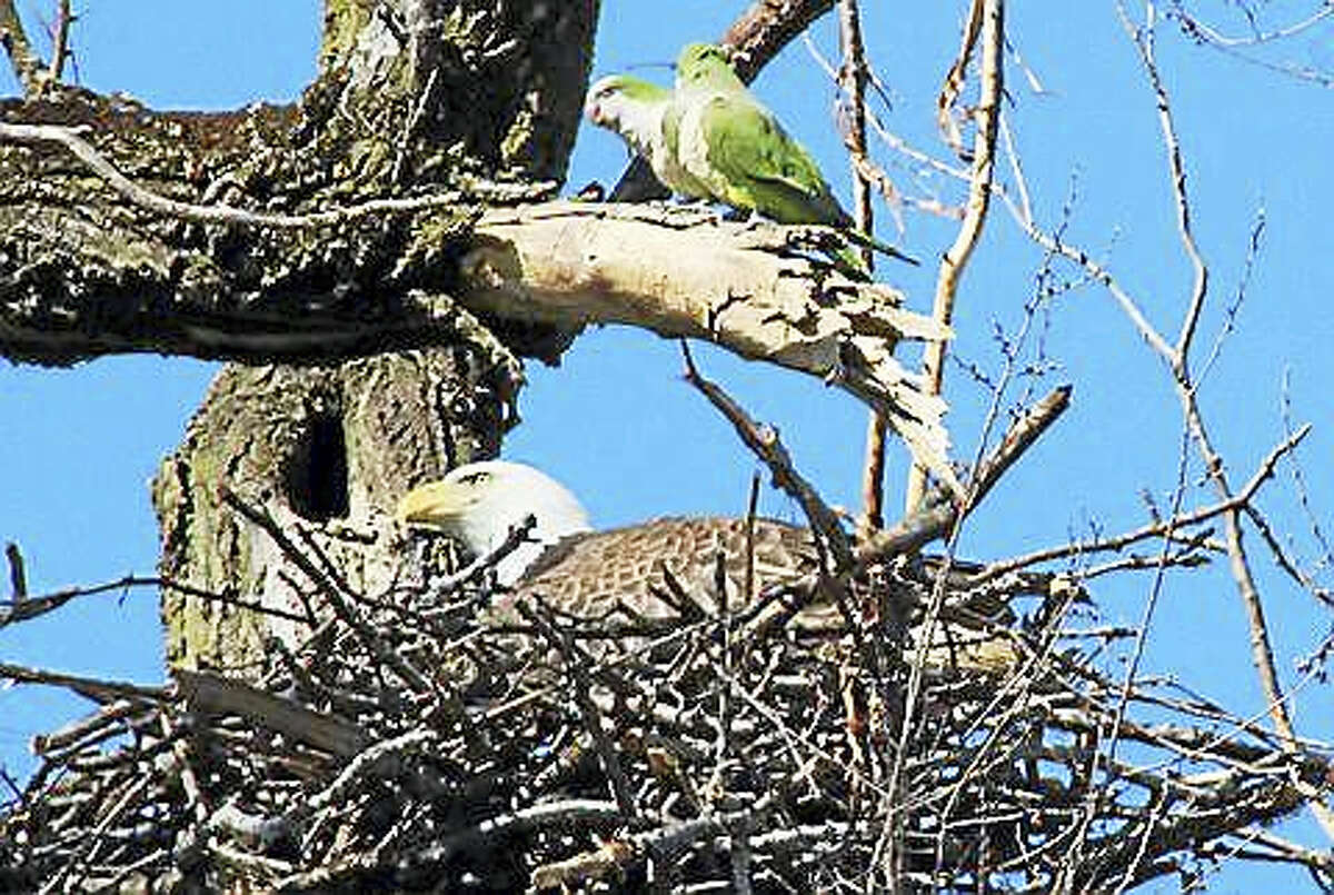 A bald eagle spotted resting on its nest in New Haven Tuesday while two monk parakeets sit on a dead branch above it.
