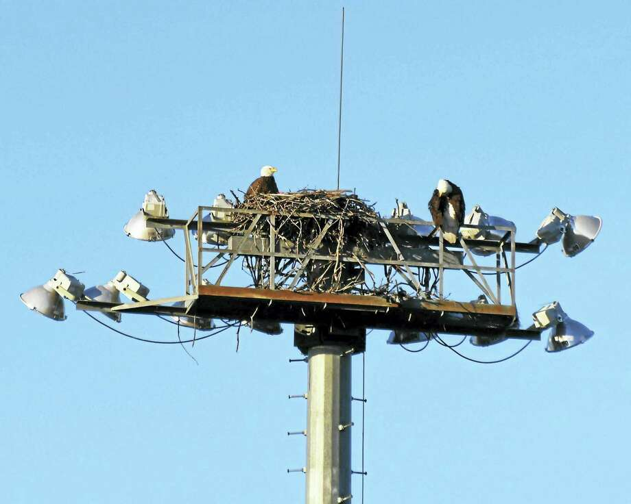MARTIN TORRESQUINTERO — CITY OF NEW HAVEN  Two bald eagles atop a nest built by ospreys at Yale Field. Photo: Journal Register Co.