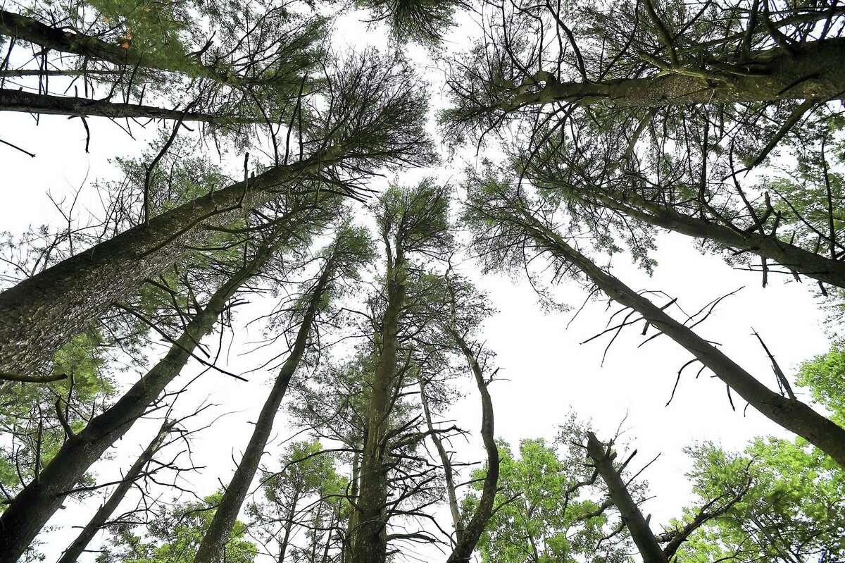 The South Central Connecticut Regional Water Authority will be removing the Norway spruce trees as seen on Wednesday, June 18, 2016 surrounding the Maltby Lakes in West Haven due to an infestation of southern pine beetles.